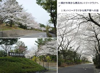 0326YCCの桜.jpg