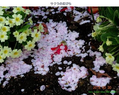 0330サクラ花びら.jpg