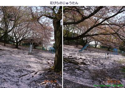0402サクラのじゅうたん.jpg