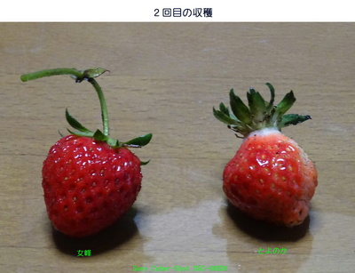 0425イチゴ収穫.jpg