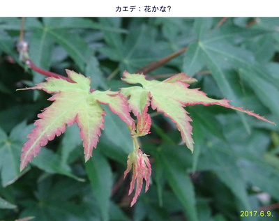 0609カエデの花.jpg