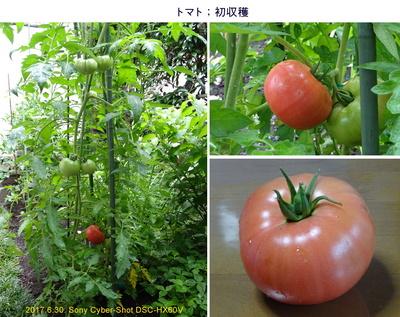 0630トマト初収穫.jpg