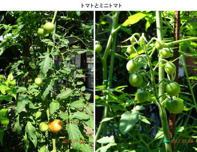 0706トマト&ミニトマト.jpg
