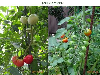 0722トマト.jpg