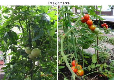 0729トマト.jpg