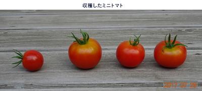0729ミニトマト.jpg
