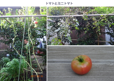 0910トマト.jpg