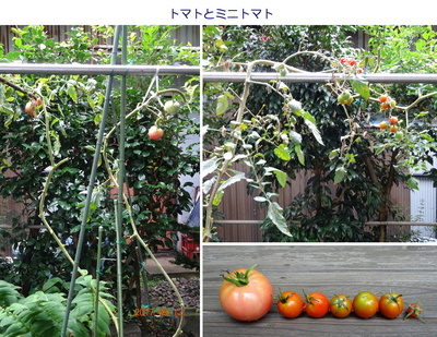 0912トマト.jpg