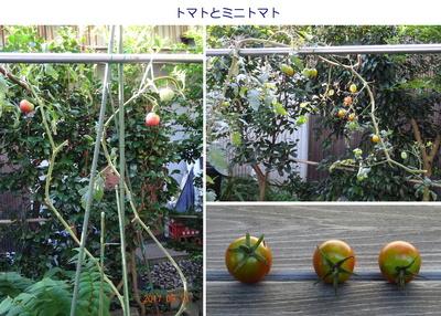 0913トマト.jpg