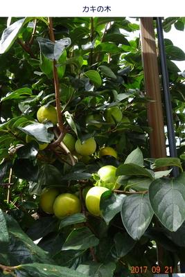0921柿の木.jpg