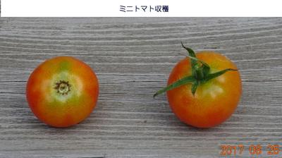 20170825トマト収穫.jpg